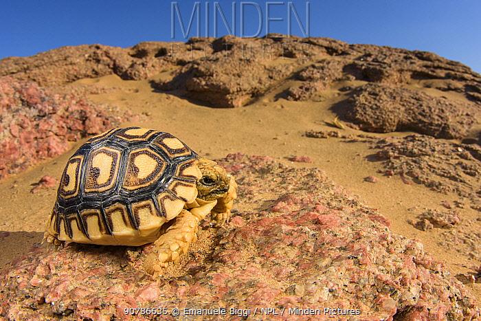 Leopard tortoise (Geochelone pardalis) young specimen walking among rocks and gravel, Brandberg area, Namibia.