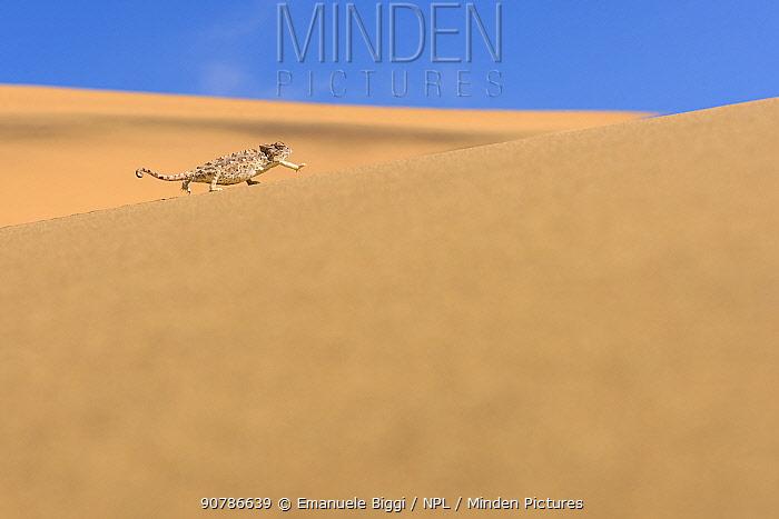 Namaqua chameleon (Chamaeleo namaquensis) adult female walking on a dune, Swakopmund, Dorob National Park, Namib desert, Namibia.