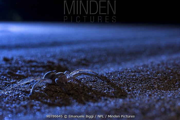 Cartwheeling spider (Carparachne sp.) at night on a sand dune. Swakopmund, Dorob National Park,  Namibia