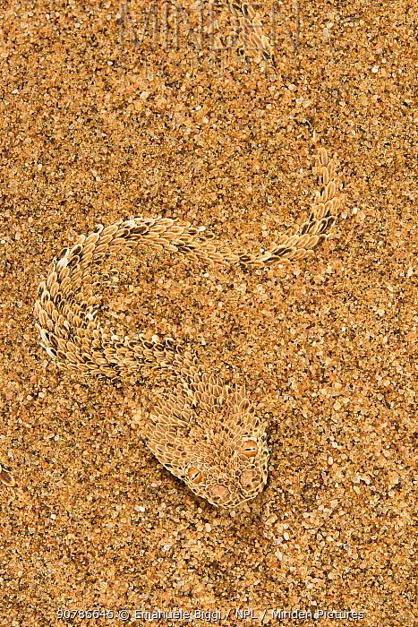 Peringuey's adder (Bitis peringueyi) hiding in the sand. Swakopmund, Dorob National Park,  Namibia