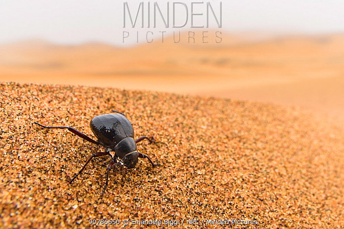 Desert darkling beetle (Onymacris sp.) drinking water by collecting water droplets contained into the early morning fog in  tiny ridges of its hardened wings (elytra), Swakopmund, Dorob National Park, Namibia. Captive.