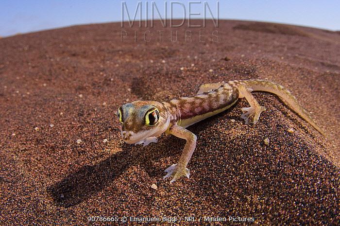 Namib sand gecko (Pachydactylus rangei) wide angle portrait, Dorob National Park, Swakopmund, Namibia