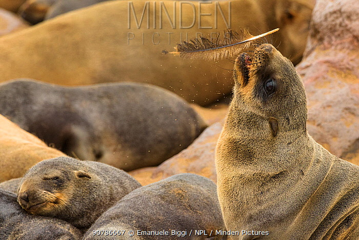 Cape fur seal (Arctocephalus pusillus) young playing with a feather found on the ground, Cape Cross seal colony, Namibia