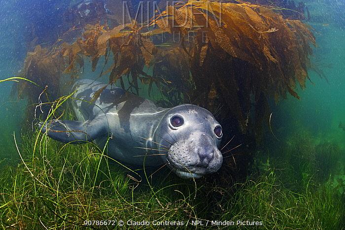 Northern elephant seal (Mirounga angustirostris) and Giant Kelp (Macrocystis pyrifera), Cedros Island, Pacific Ocean, Baja California, Mexico, May
