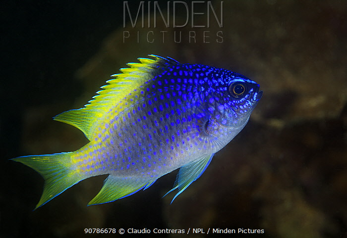 Blue-and-yellow chromis (Chromis limbaughi), Salsipuedes Island Protected Area, Gulf of California (Sea of Cortez), Mexico, July