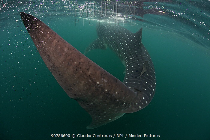Whale Shark (Rhincodon typus), Bahia de los Angeles Biosphere Reserve, Gulf of California (Sea of Cortez), Mexico, July. Endangered species.