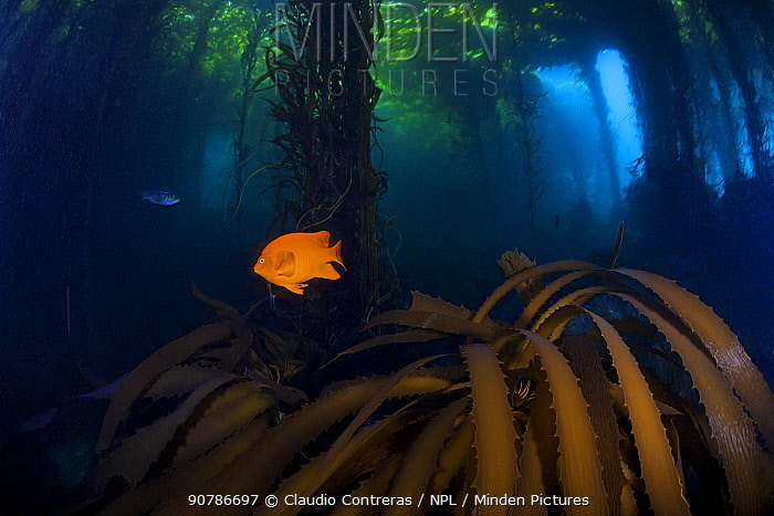 Garibaldi fish (Hypsypops rubicundus) and Giant Kelp (Macrocystis pyrifera) forest, San Benitos Islands, Baja California Pacific Islands Biosphere Reserve, Baja California, Mexico, May