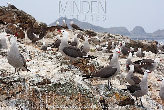 Heermann's gull (Larus heermanni) colony, San Benitos Islands, Baja California Pacific Islands Biosphere Reserve, Baja California, Mexico, May
