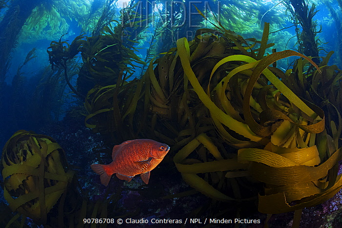 Black surfperch (Embiotoca jacksoni) among Southern sea palm (Eisenia arborea) and Giant kelp (Macrocystis pyrifera) forest, San Benitos Islands, Baja California Pacific Islands Biosphere Reserve, Baja California, Mexico, May