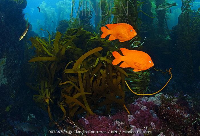 Garibaldi fish (Hypsypops rubicundus), San Benitos Islands, Baja California Pacific Islands Biosphere Reserve, Baja California, Mexico, May