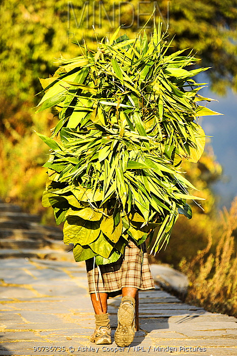 Woman carrying a load of foliage from the surrounding forest to feed goats and cows. Annapurna, Himalayas, Nepal, December 2012