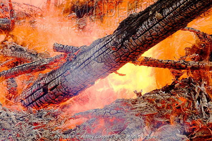 Trees in plantation burning in forest fire, Egremont, Cumbria, England, UK, August 2006.
