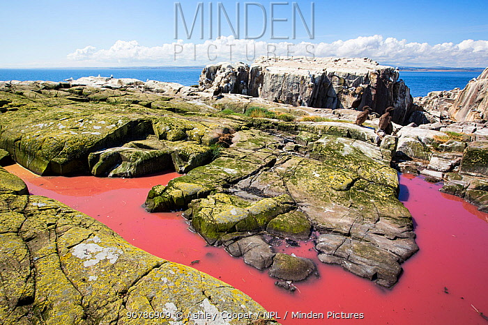 Pool coloured red from algae that have been fertilized by seabird guano on the Farne Islands, Northumberland, England, UK. July.