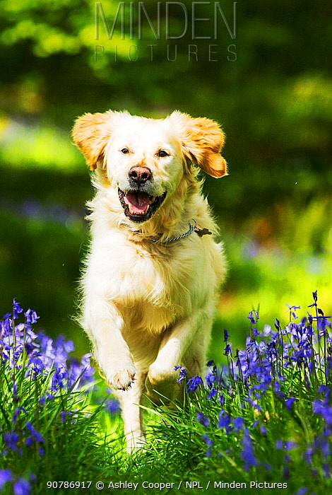 Golden retriever dog running through Bluebells, Jiffy Knotts wood, Lake District, England, UK. May.