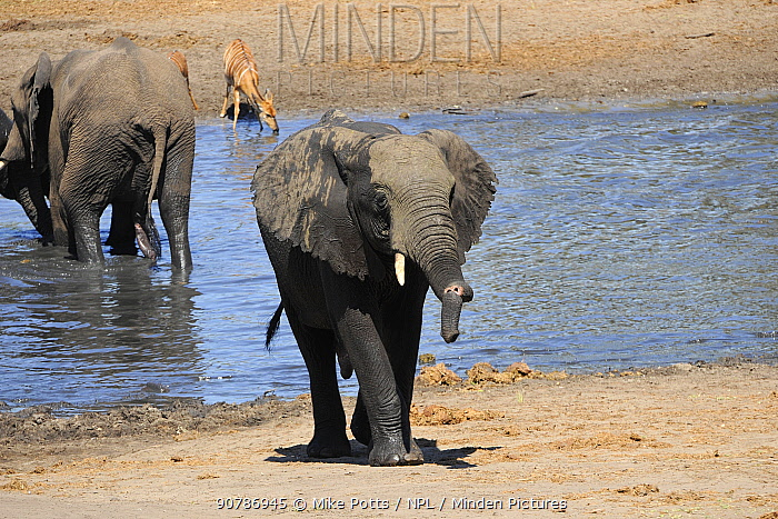 African elephant (Loxodonta africana) with almost totally severed trunk. Tembe Elephant Park.  Kwazulu-Natal.  South Africa.