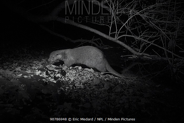 Otter (Lutra lutra) at night, infra red image.  France. November.