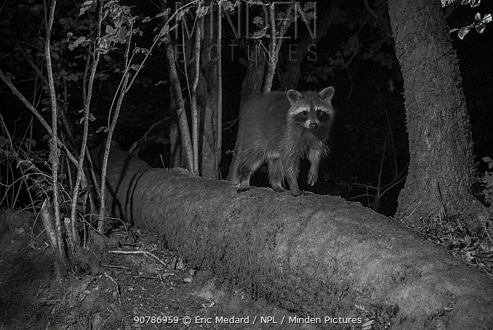 Racoon (Procyon lotor) male at night, infra red  image, France. Introduced species.