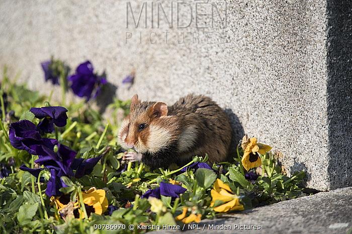 European hamster (Cricetus cricetus), adult, feeding on viola on a grave in a cemetery, Vienna, Austria.