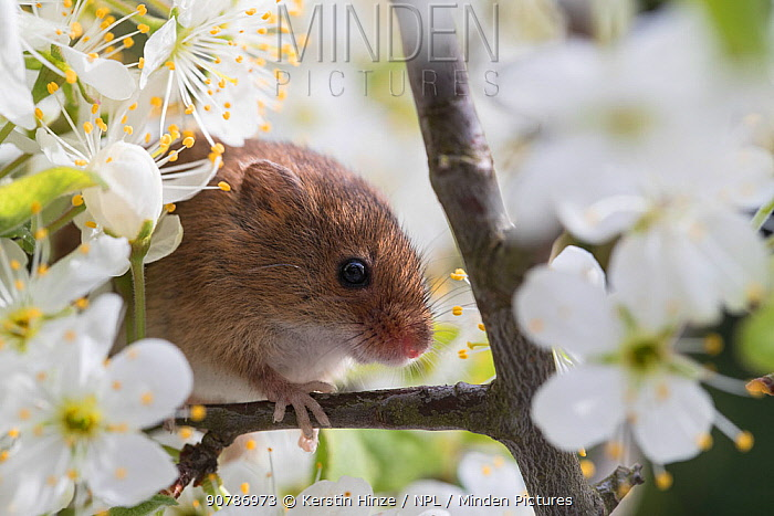 Harvest mouse (Micromys minutus), adult, climbing between flowering blackthorn, captive. April.
