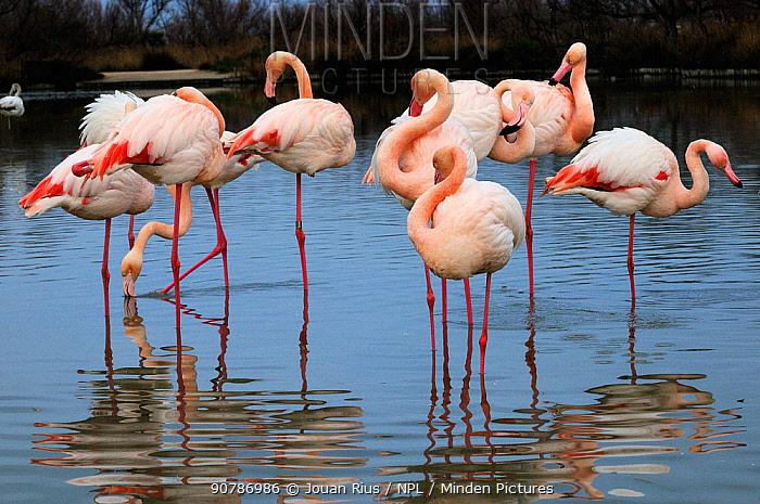 Greater flamingos (Phoenicopterus ruber) group, Camargue, France. February