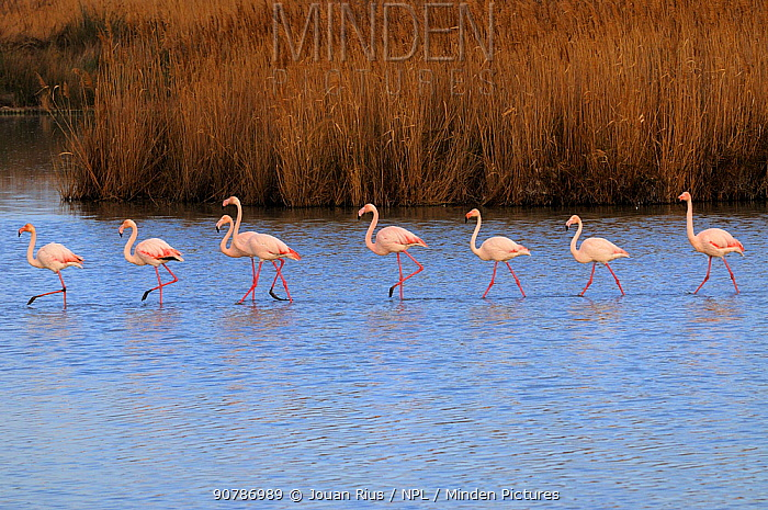 Greater flamingos (Phoenicopterus ruber) in lagoon, Camargue, France. February