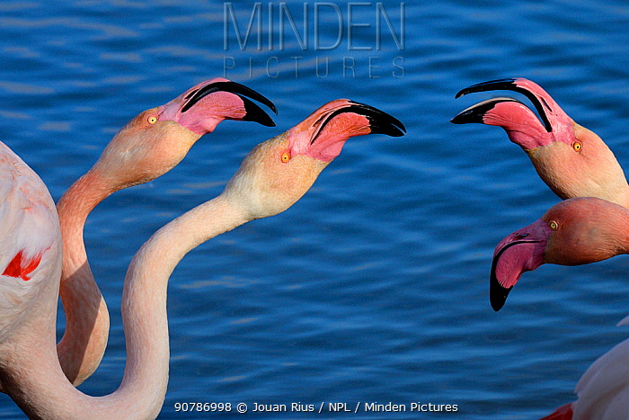 Greater flamingos (Phoenicopterus roseus) squabbling, Camargue, France. February
