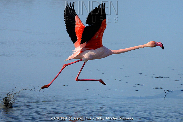 Greater flamingo (Phoenicopterus roseus) taking off from lagoon, Camargue, France. February