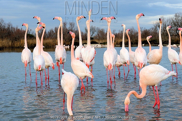 Greater flamingos (Phoenicopterus ruber) in courtship display, Camargue, France. February