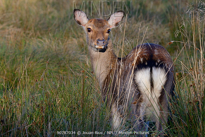 Sika deer (Cervus nippon) female, Klampenborg Dyrehaven, Denmark. October