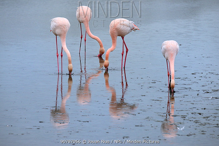 Greater flamingos (Phoenicopterus ruber) feeding in lagoon, Camargue, France. February