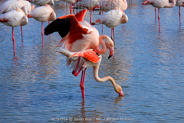 Greater flamingo (Phoenicopterus roseus) pair mating, Camargue, France. February