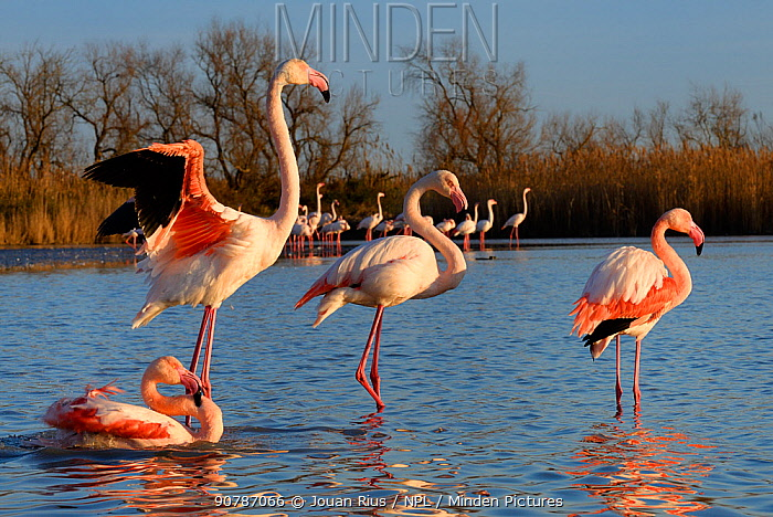 Greater flamingo (Phoenicopterus roseus) drying wings after bath, Camargue, France. February