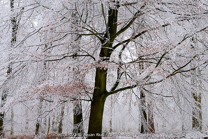 European beech trees (Fagus sylvatica) covered with frost, Retz Forest, Aisne, Picardy, France, December 2016