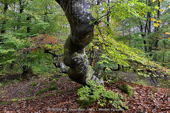 Twisted beech tree (Fagus sylvatica var. tortuosa)  in autumn, Parc naturel de la Montagne de Reims, Champagne, France, October 2017