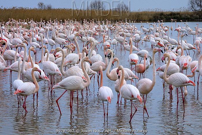 Greater flamingo (Phoenicopterus ruber) flock, Pont de Gau Ornithological Park, Camargue, France. February