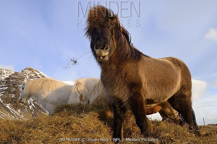 Icelandic horses feeding on grass, southern Iceland, February 2015