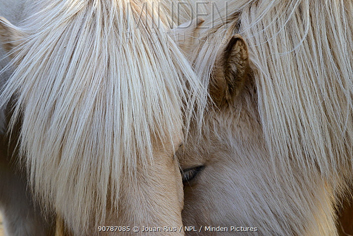 Close up of two Icelandic horses head to head, southern Iceland, February 2015