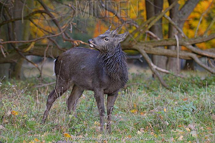 Sika deer (Cervus nippon) buck, Klampenborg Dyrehaven, Denmark. October