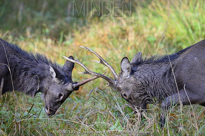 Sika deers (Cervus nippon) stags fighting during rut, Klampenborg Dyrehaven, Denmark. October