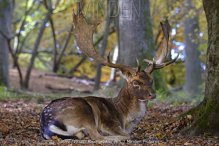 Fallow deer (Dama dama) buck lying down, Klampenborg Dyrehaven, Denmark. October
