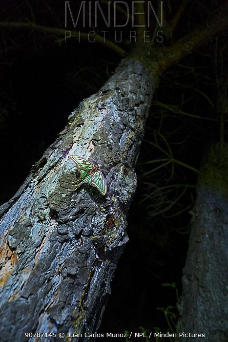 Spanish moon moth (Graellsia isabellae) male on tree trunk at night. The Ports Natural Park, Catalonia, Spain, June.