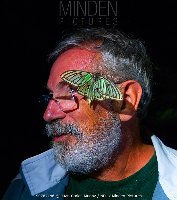 Man with female Spanish moon moth (Graellsia isabellae) on face during scientific research, The Ports Natural Park, Catalonia, Spain, June.
