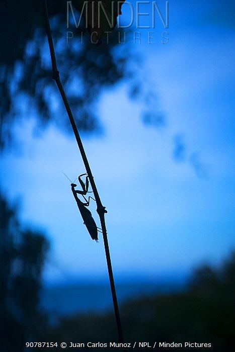 European mantis (Mantis religiosa)female silhouetted, Cantabria, Spain.
