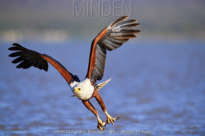 African fish eagle (Haliaeetus vocifer) fishing, Baringo lake, Kenya. Sequence 6/7
