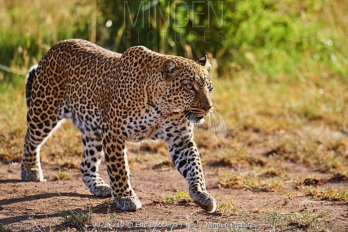 Leopard (Panthera pardus) female walking,  Masai Mara National Reserve, Kenya.