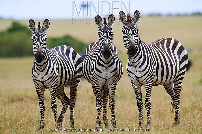 Common zebras  (Equus quagga)  looking at camera, Masai Mara National Reserve, Kenya.
