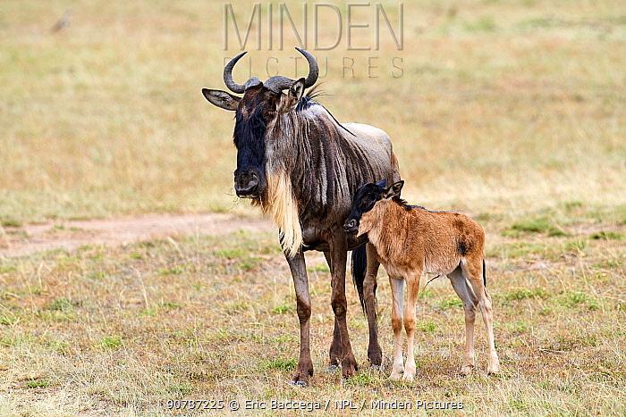 Wildebeest (Connochaetes taurinus) calf standing by mother, Masai Mara National Reserve, Kenya.
