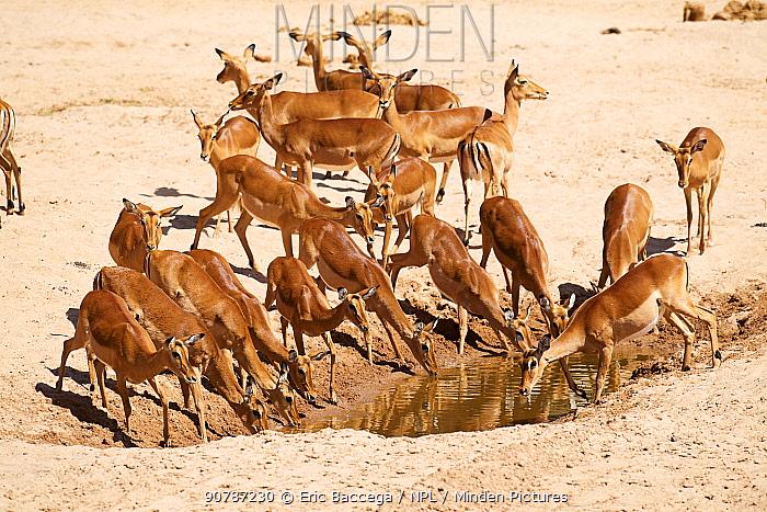 Impala herd with females (Aepyceros melampus) drinking at waterhole, dry season, Samburu National Reserve, Kenya.