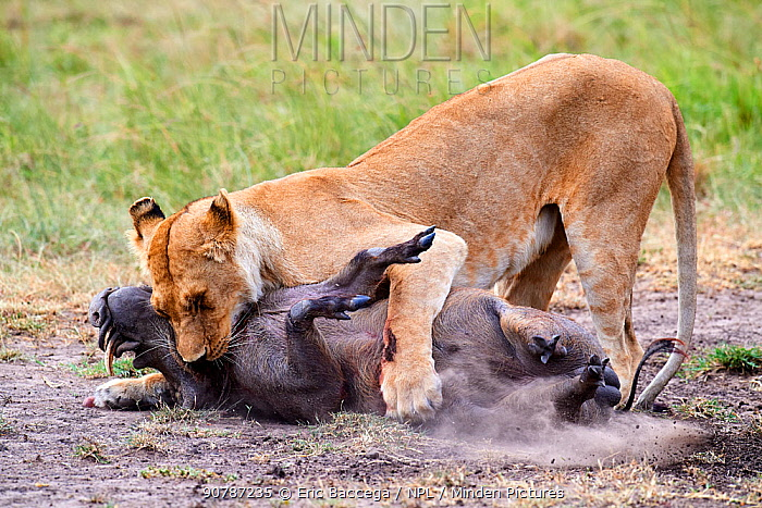 African lion (Panthera leo) female suffocating a common warthog prey (Phacochoerus africanus), Masai Mara National Reserve, Kenya.