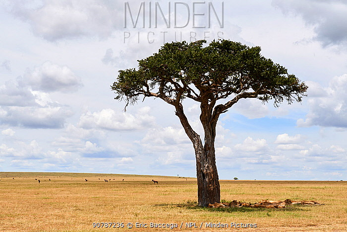 African lion (Panthera leo) pride resting in the shade of an acacia tree, Masai Mara National Reserve, Kenya.